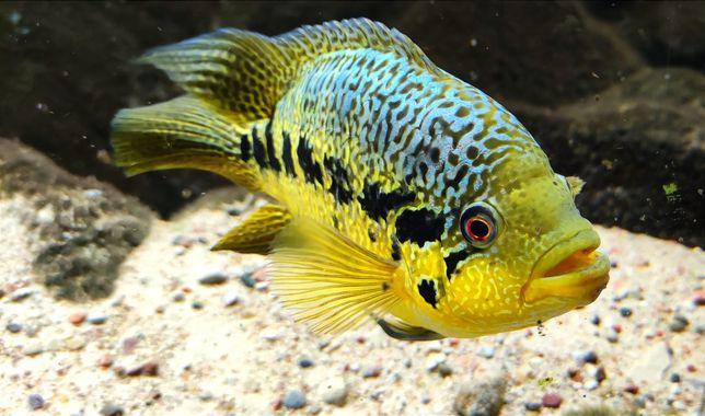 Parachromis ex loisellei - dobrana para