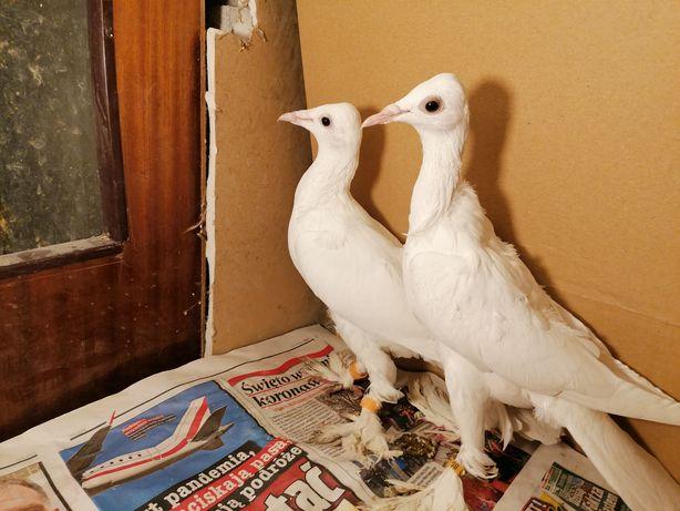 Gołębie ozdobne bociany