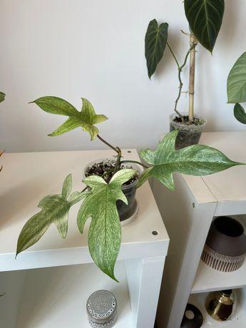Philodendron Florida Ghost - Planta rara