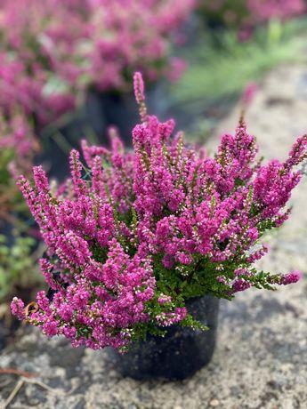 Wrzosy wrzośce wrzos doniczka 11 cm kwiaty pakiet 200 szt