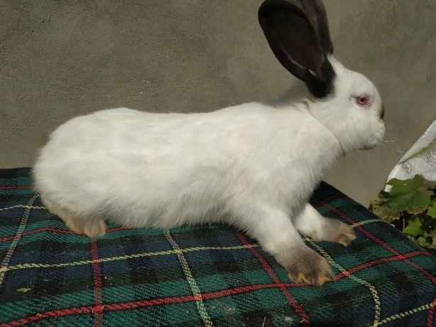 Кролиці Кролі, самки породи Каліфорнія вік 4,5. міс