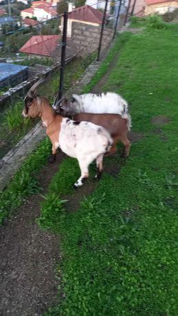 Cabras anãs dóceis