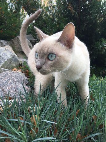 Тонкинез, тонкинская. Элитные котята. Питомник.