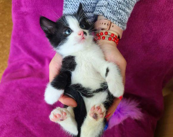 Малюк Сион з надією шукає сім'ю!Чорно-біле кошеня, кіт 1,5 міс.
