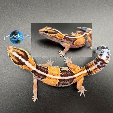 Гемитеконикс, Африканский толстохвостый геккон Ящерица ручная!!!