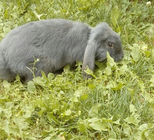 Francuski baran samczyki