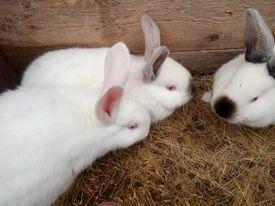 króliki mieszańce