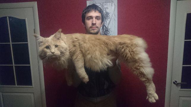 Вязка кот мейн-кун, город Лисичанск, ищет кошечку