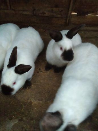 Кролики породы Калифорния