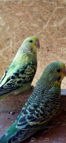 Młode Papugi Faliste 2021
