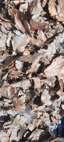 Suszone liście dębu chrząszcz wija  1l
