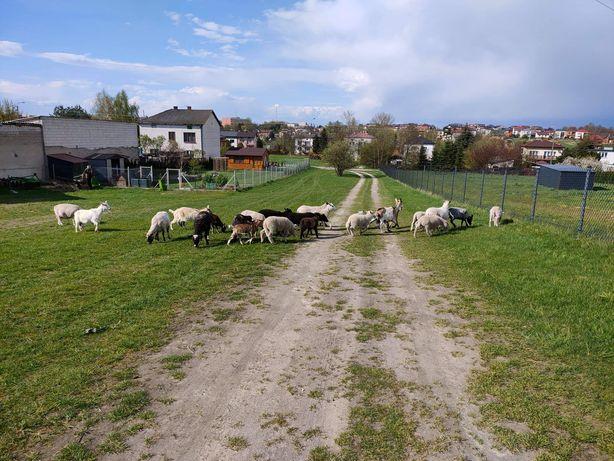 Sprzedam owce i kozy