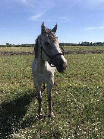 Кінь / Кобила