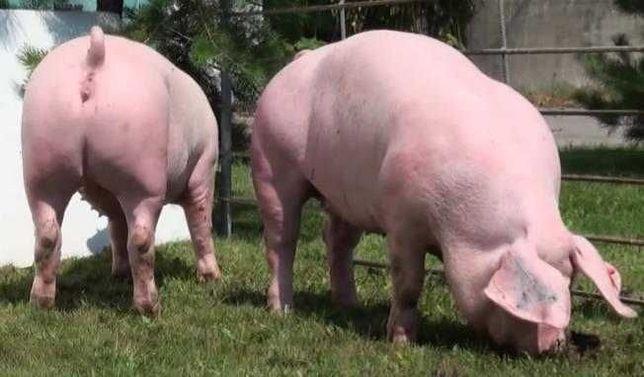 М'ясо свиней, тушька