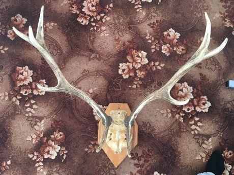 Роги оленя (антикваріат)