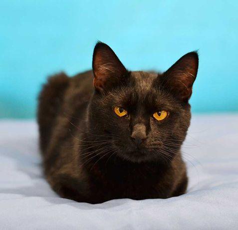 Кот-брюнет с невероятными глазами – Янтарь (котенок, 7 месяцев)