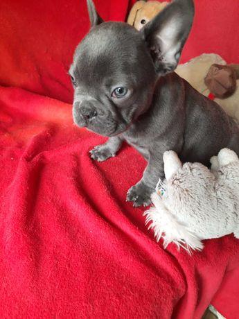 Bulldog Francês blue Criadora Registada