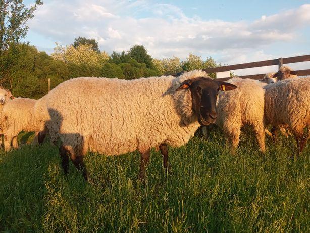 Овцы, овцематки от 2х лет