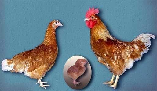 Инкубационное яйцо куры,гуси, утки , индюки