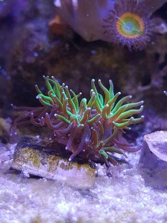Galaxea, koralowiec, akwarium morskie