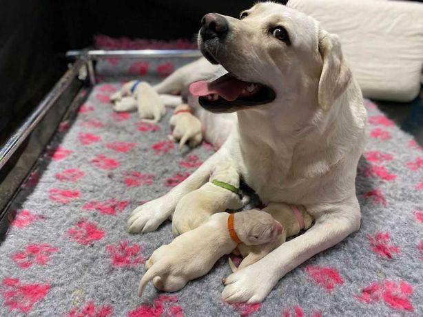 Labradory biszkoptowe, szczeniaki, hodowla ZKwP, FCI - rezerwacja