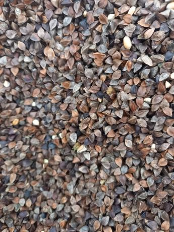 Gryka nasiona gryki gryka na poplon zbiór 2021 wysyłka kurierem