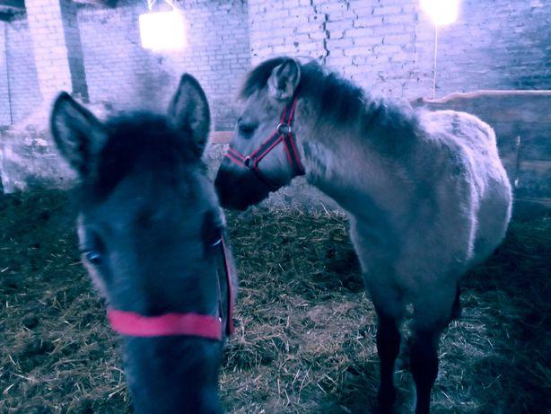 Konie Polskie parka sprzedam