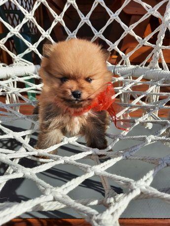 Pomeranian szpic miniaturowy piesek