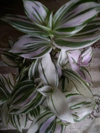 Традесканция. Комнатное растение