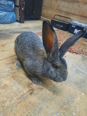 Olbrzym Belgijski - sprzedam króliki