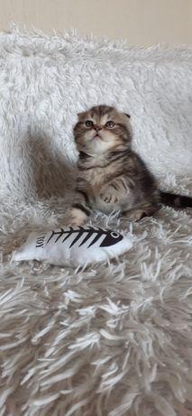 Шотлландские вислоухие и прямоухие мраморные котята, Киев