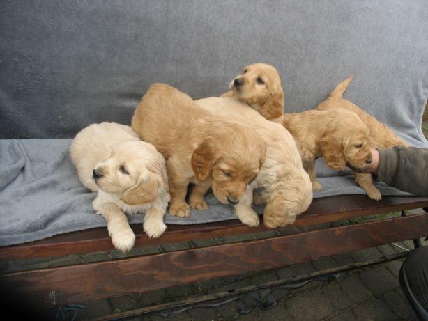 Golden retriver ZŁOTE rasowe psy i suczki szczeniaki JUZ DO ODBIORU