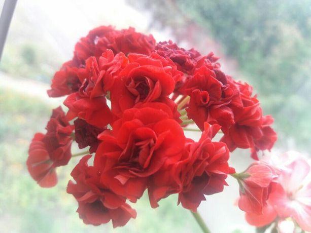 Красная пеларгония (герань)