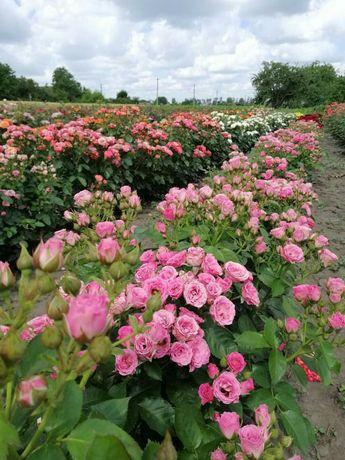 Саженцы роз ( Саджанці троянд) Наборы по 10 шт