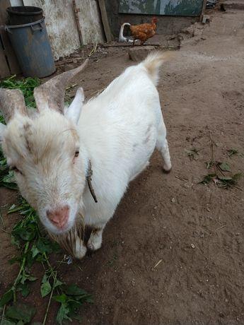 Casal cabras anão