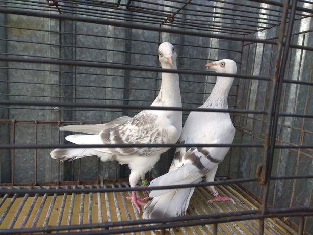 Gołębie ozdobne Srebrniaki perłowe pasiate jarzębiate