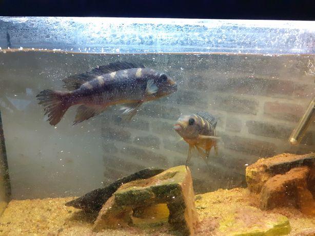 Ryby pyszczaki dwie