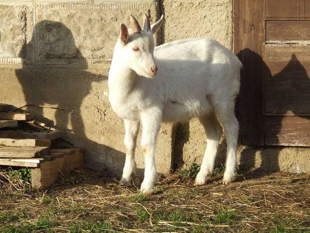 Koziołek rozpłodowy saaneński po rodzicach z Jastrzębca 17kg kozy koza
