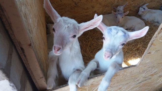 Чистокровные козы зааненской, альпийской и бурской породы