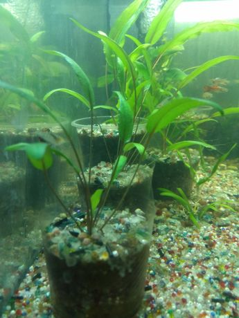 Продам растение криптокарина