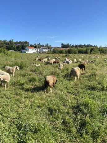 Vendo ovelhas para varios precos