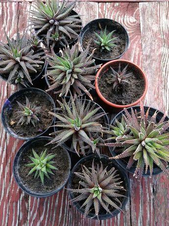 Хавортия. Комнатное растение