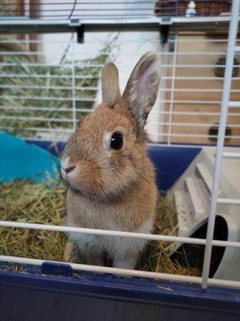 """Sprzedam królika miniaturkę """"TEDDY"""""""