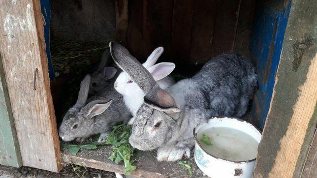 Продам кроликов королевских Великанов