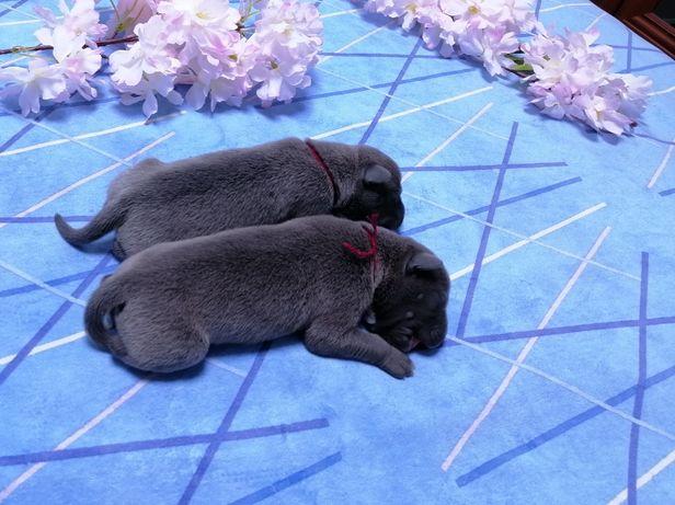 Голубые стаффтерьеры щеночки с питомнмка