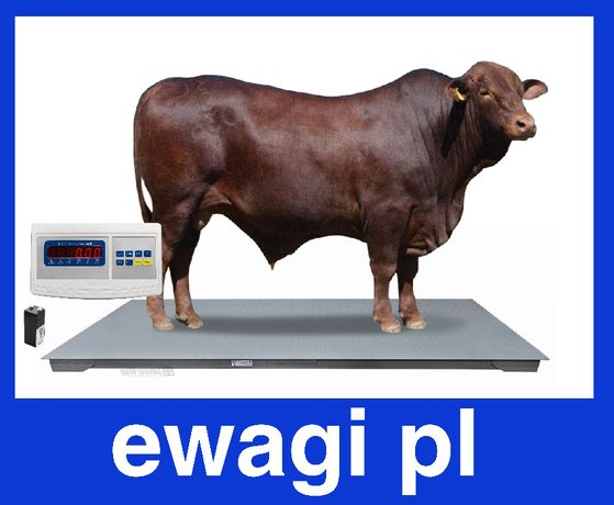 Elektroniczna waga rolnicza 1,2x2,2 inwentarzowa do wazenia zwierząt