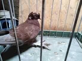 Gołębie turkot młody