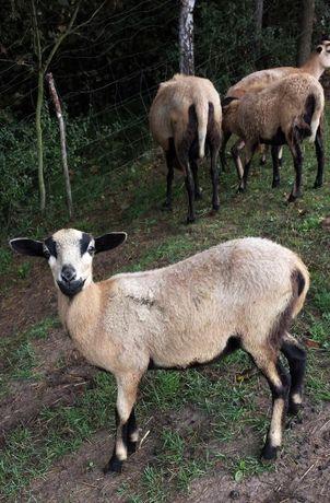 Sprzedam Owieczki Kameruńskie