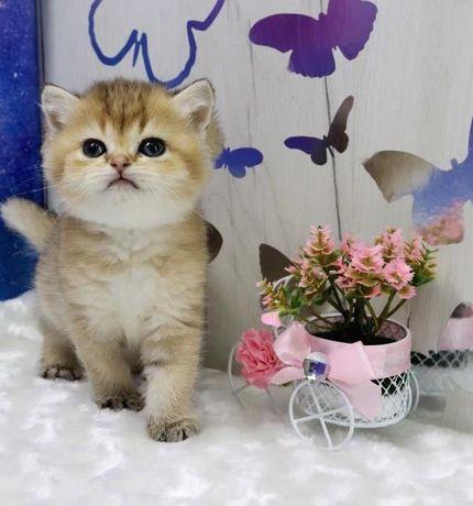 Кошечка ny 25, британская малышка