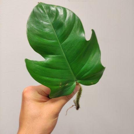 Filodendron Philodendron Squamiferum - sadzonka